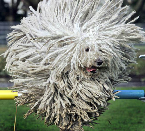 Puli aka flying mop
